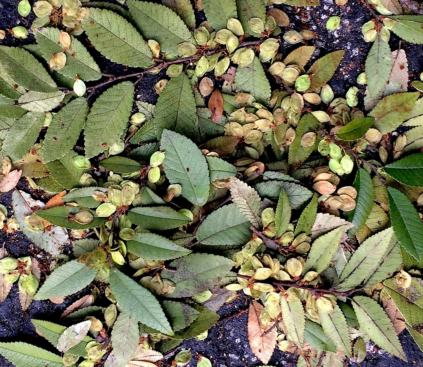 Around most Chinese elms now is a layer of falling leaves and samaras, both edible. The species is semi-deciduous so it doesn't loose all its leaves. To read more about the Chinese Elm go here. Photo by Green Deane