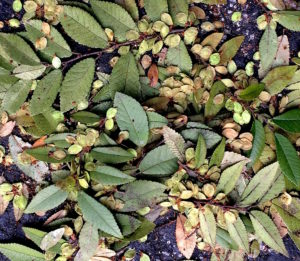Do you know this edible? You would if you read the Green Deane Forum. Photo by Green Deane