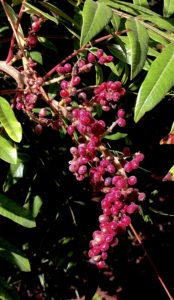 Sumac berries are used for their tart hairs. Photo by Green Deane