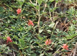 Indigofera spicata, Creeping Indigo, is toxic to horses and has caused death locally. Not edible.