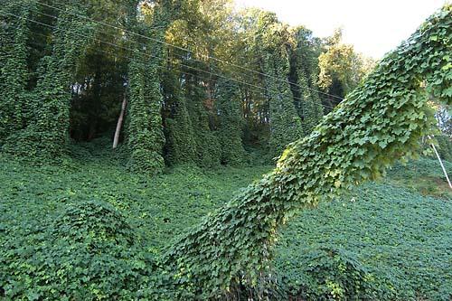 Kudzu can carpet the landscape.