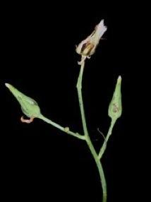 Lactuca graminifolia, Wild lettuce
