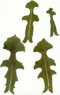 Lactuca scariola, L. serriola