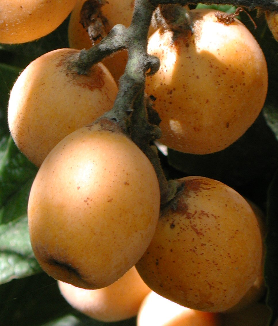 Loquat are ripening