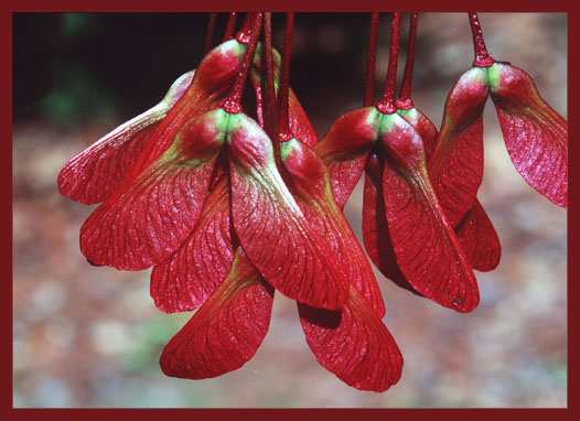 Young Maple Seeds. Photo by Dave Fingerhut.