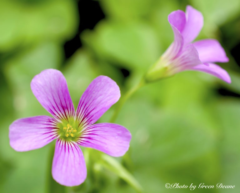 Oxalis have petals and can be pink or yellow. Photo by Green Deane