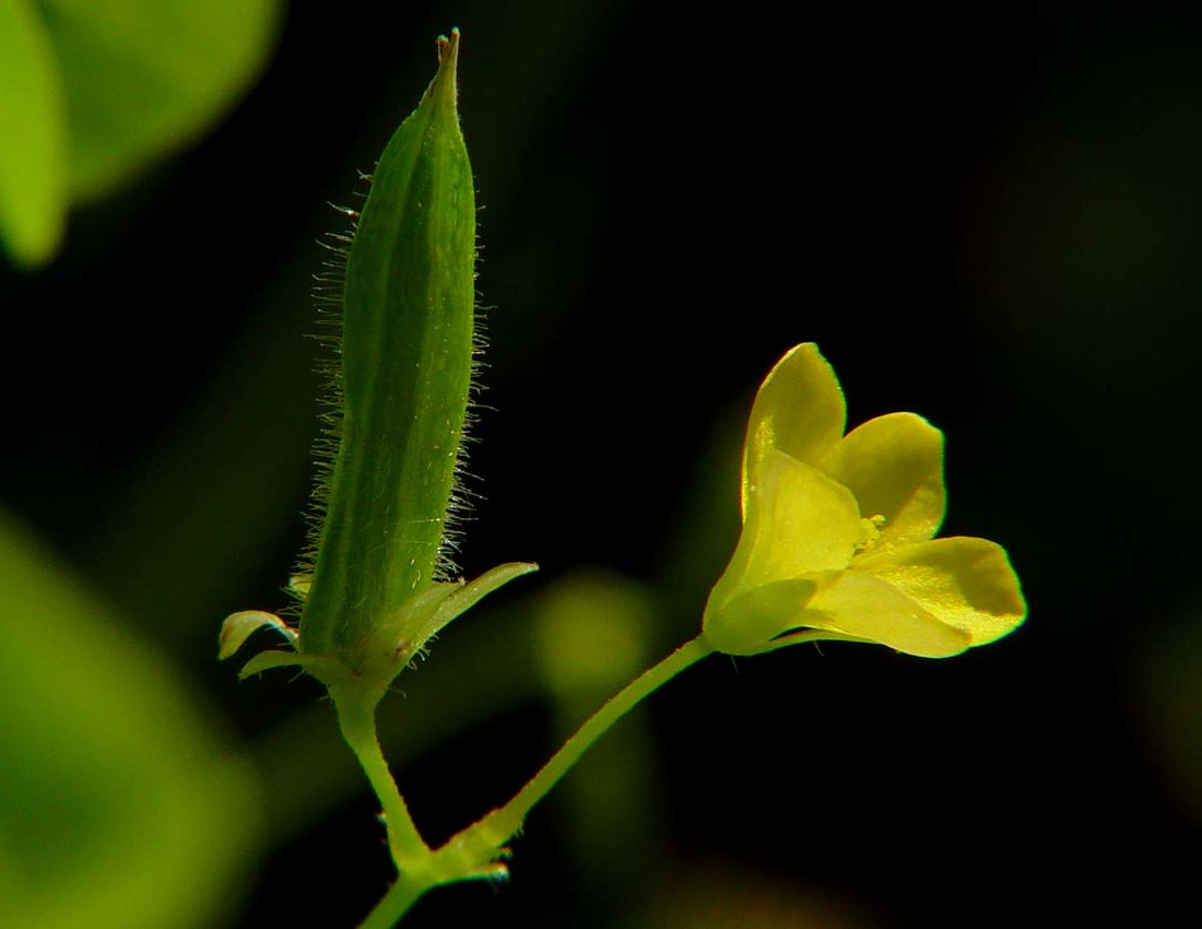 Oxalis seed pod is shorter, fatter than Bittercress. The blossom is also yellow. Photo by Flora.nhm