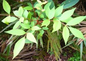 Note the different shaped leaves of the poison sumac and the bright red stems.