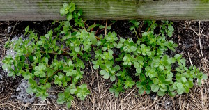 Purslane can survive a Florida winter if there isn't much frost or freezing temperatures. Photo by Green Deane