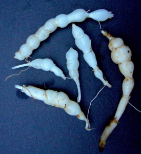 Stachys roots. WIth a couple of dozen species worldwide there is one hear you.