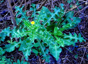 The Spiny Sow Thistle looks more armed. Photo by Green Deane