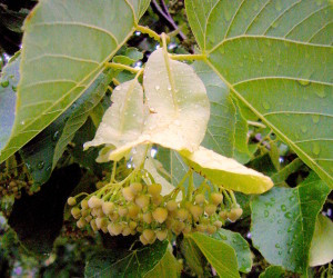Basswood Blossom. Photo by Green Deane