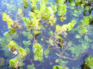 Partially submerged Lemon Bacopa, Lake Seminary boat ramp, Maitland Fl., photo by Green Deane