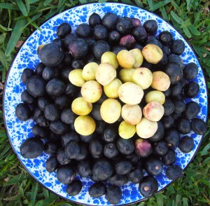 Coco-plums come in red, white and blue varieties. Photo by Green Deane