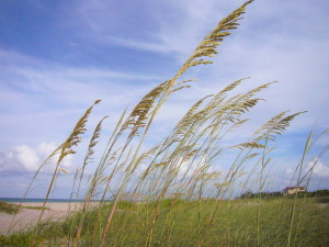 Sea Oats, edible and common but protected.