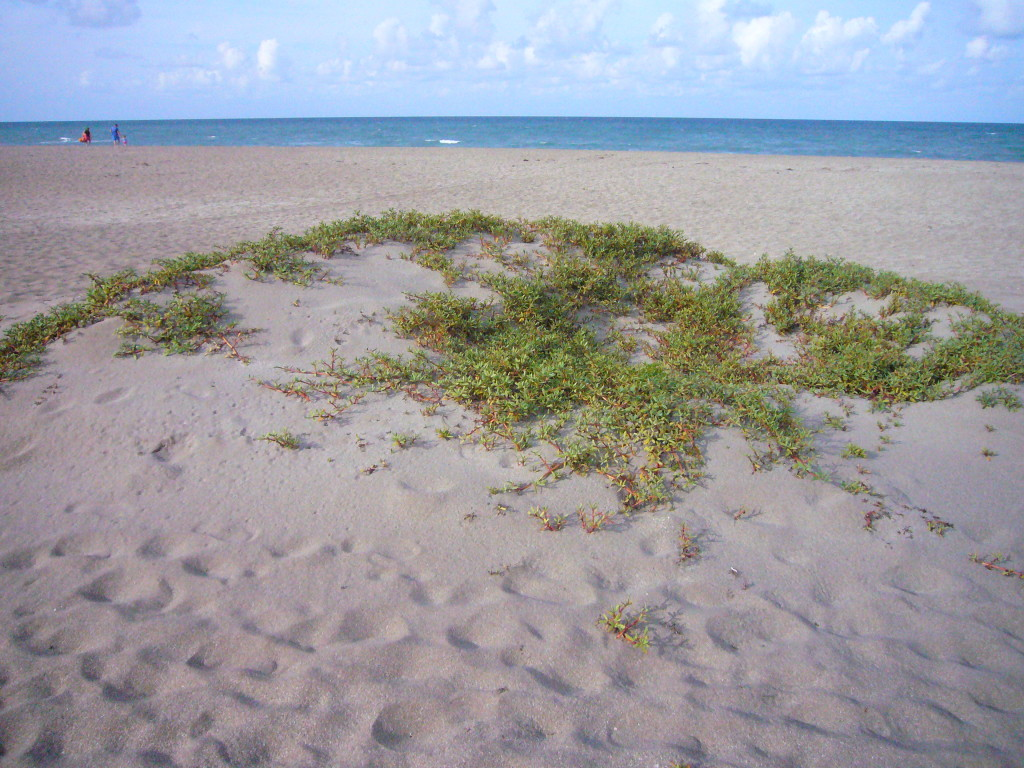 Sea Purslane build dunes, photo by Green Deane