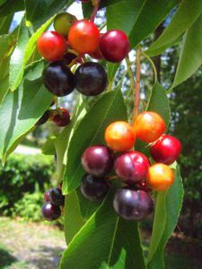 Ripening Black Cherries. Photo by Green Deane