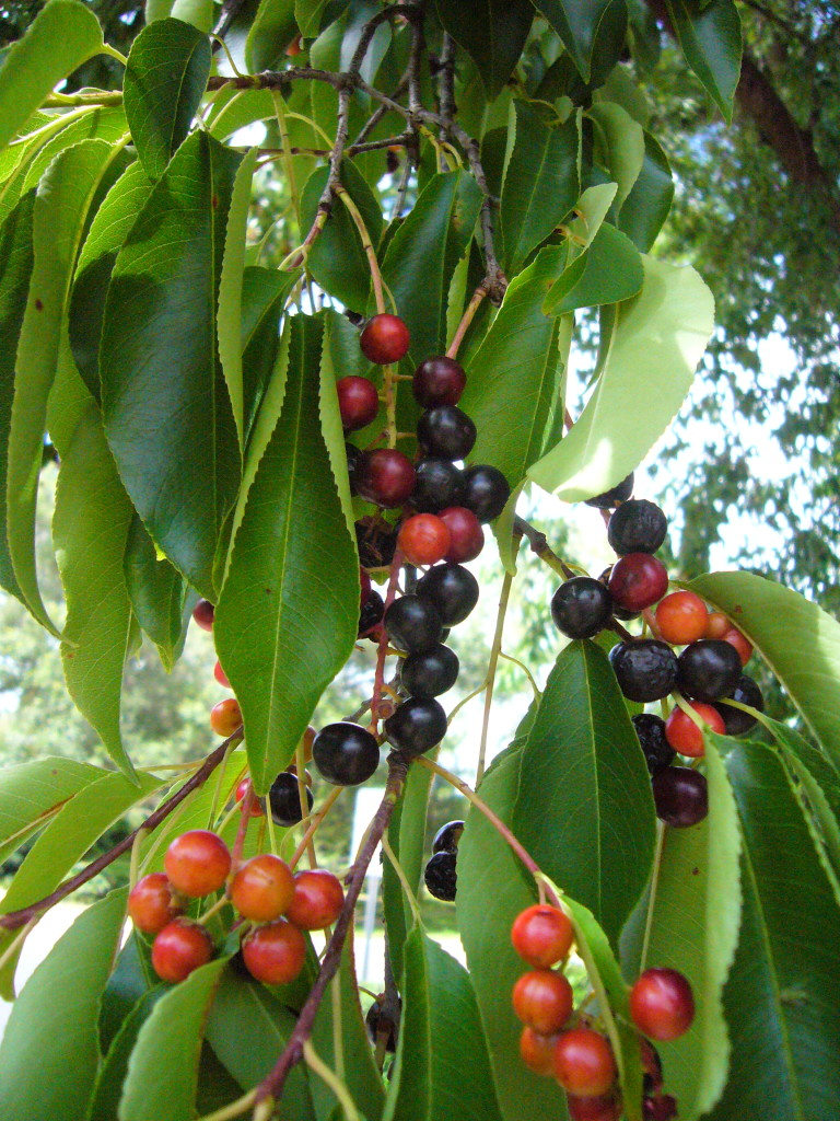 Black cherries are a combination of sweet and bitter. Photo by Green Deane