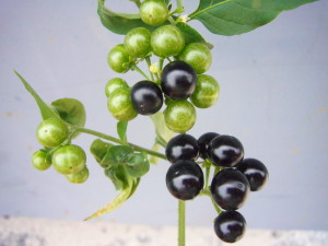 While ripe American Nightshade berries are edible ripe check for bitterness. Photo by Green Deane