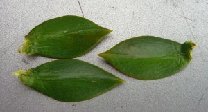 Bunya Pine leaves taper on both ends.
