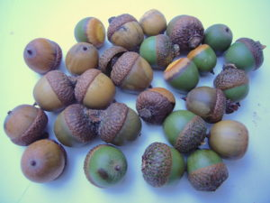 Brown acorns and green ones that have let go of their cap can be used. Photo by Green Deane