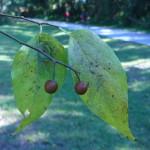 Hackberry Fruit
