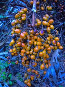 Unripe Saw Palmetto Berries