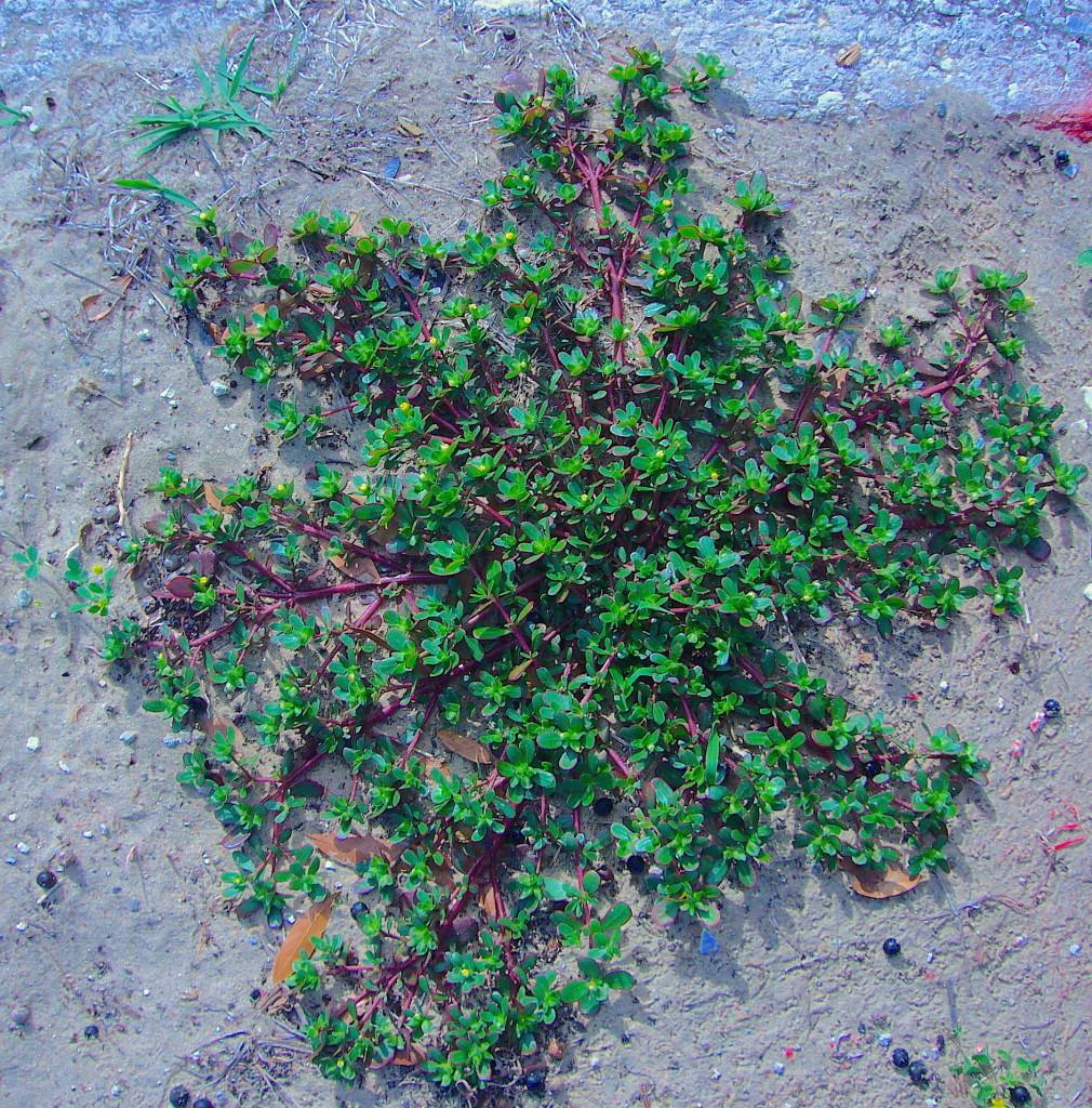 Common purslane, Portulaca olaracea, photo by Green Deane