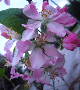 Also blossoming are apples, a relative of the blackberry. These are Apple Anna blossoms, one of the few apple trees to fruit in warm Florida.