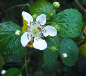 Perhaps a good sign that the worst of winter is over is our blackberries blossoming. Photo by Green Deane