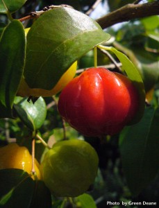 Not everyone like the flavor of Surinam Cherries. Photo By Green Deane