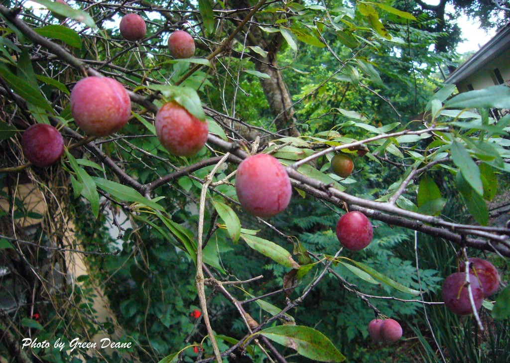 Chickasaw Plums are maintenance free and ripen to sweet. Photo by Green Deane