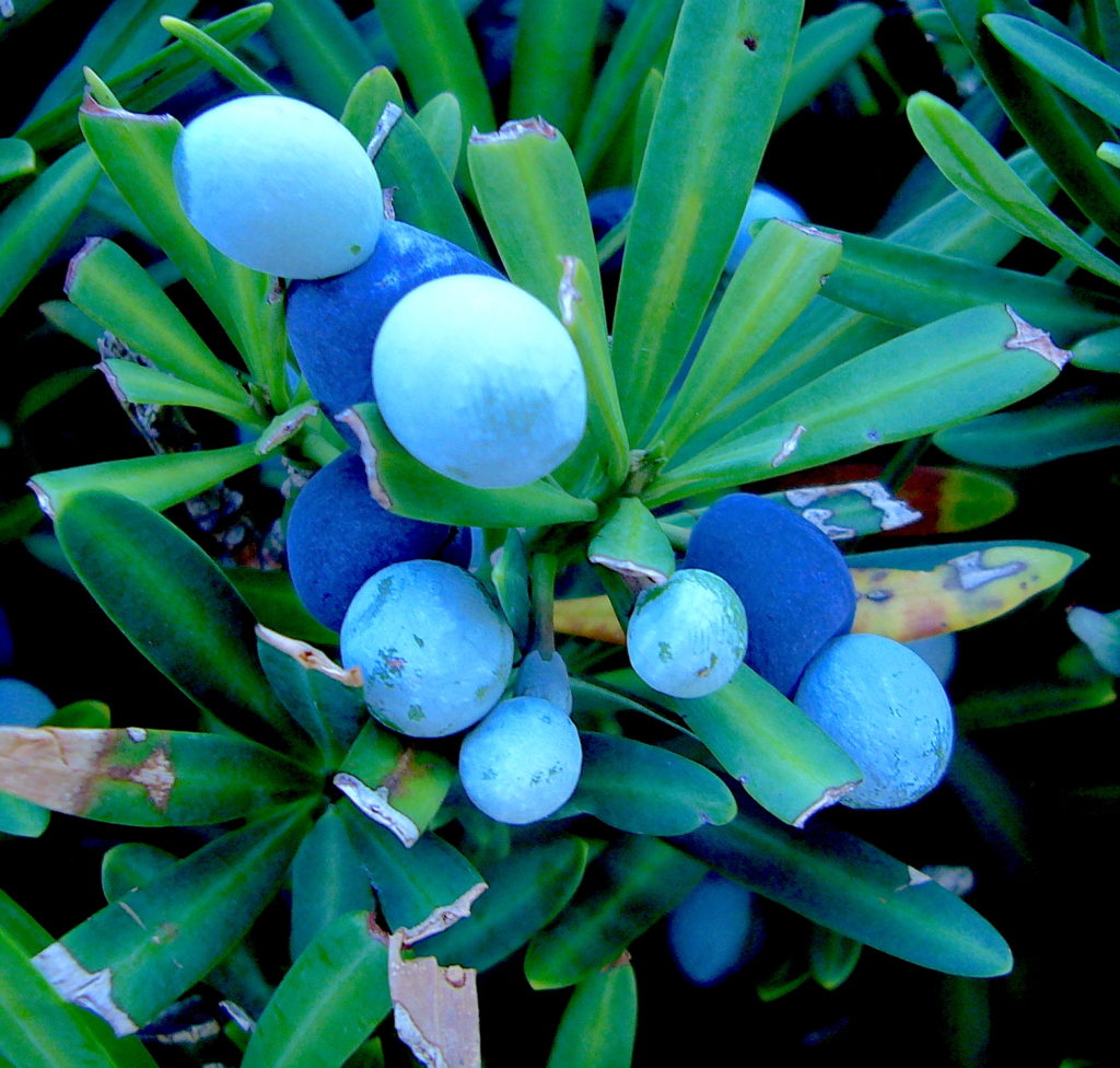 Podocarpus arils, the dark blue parts, are ripening. The light blue seeds are not edible. Story below. Photo by Green Deane