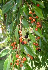 Black Cherries ripen to dark purple or black. Photo by Green Deane