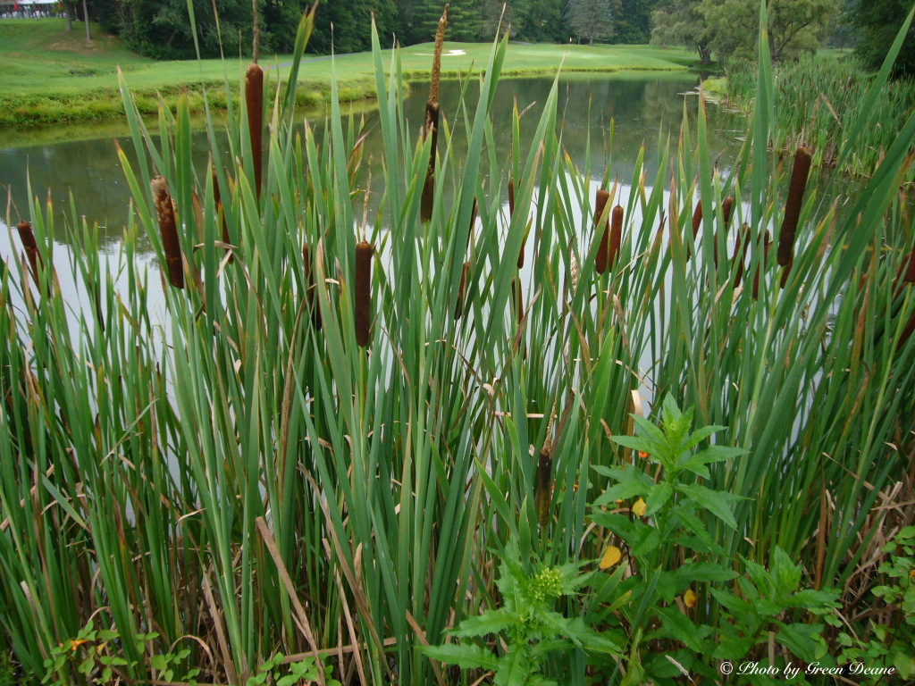 Cattails have many edible parts, top to bottom. Photo by Green Deane