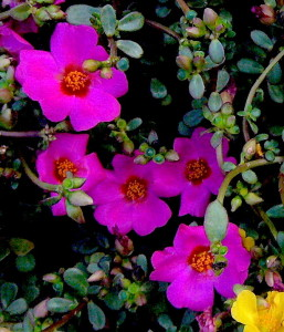 The edibility of ornamental Portulacas is not well-established.