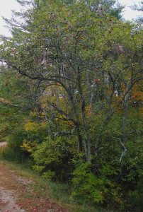 October apples in Maine. Photo by Green Deane