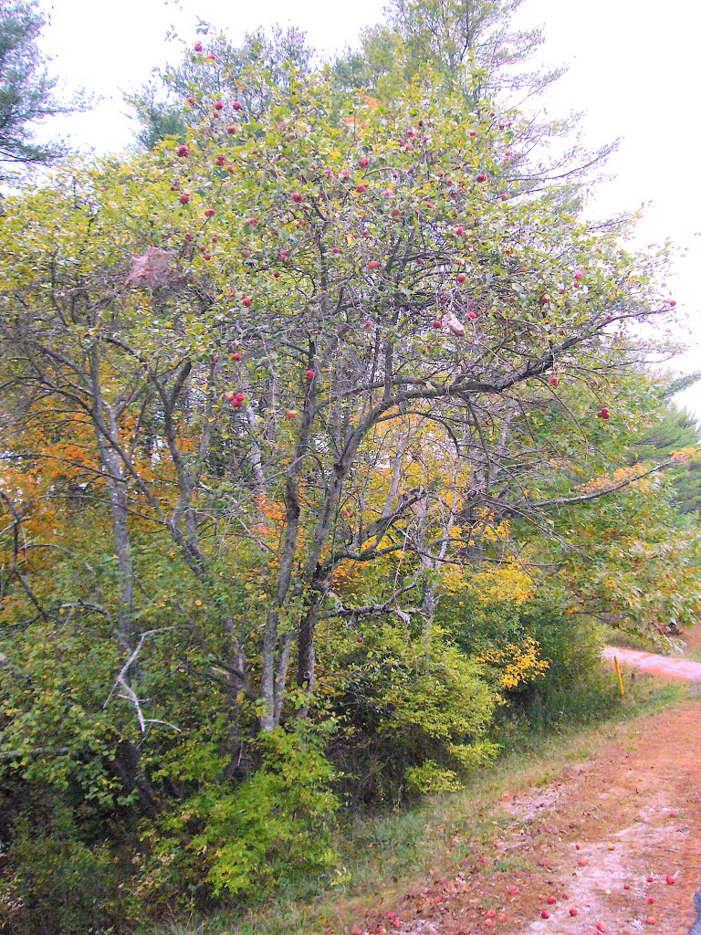 Wild Apple tree in October in Pownal Maine. Photo by Green Deane