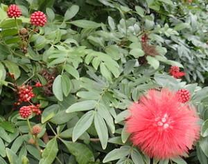 Calliandra haematocephala, the red powder puff. Photo by Green Deane