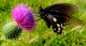 Thistle with Butterfly. Photo by Green Deane