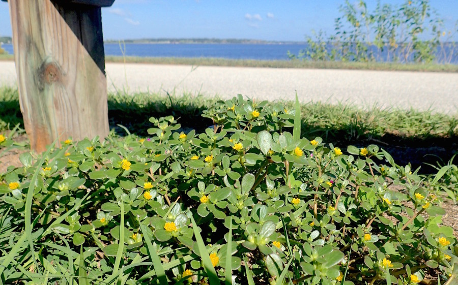 People often say they can find Purslane. I have a hard time avoiding it. This clump, along with two non-edible versions, was seen next to a park bench by Lake Minneola in Clermont. Photo by Green Deane