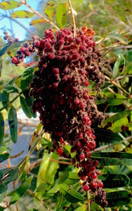Look for garnet terminal clusters of fruit. Photo by Green Deane