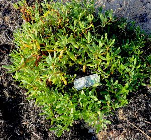 Sea Purslane is tasty raw or cooked. Photo by Green Deane
