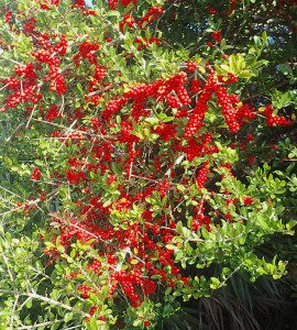 Holly berries are toxic but the leaves make a caffeinated tea. Photo by Green Deane