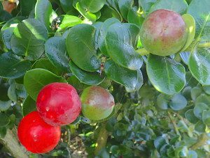 Natal Plums are native to Africa. Photo by Green Deane