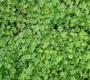 A bed of tart and tasty Oxalis. Photo by Green Deane