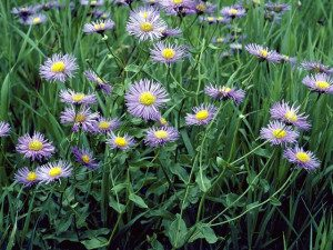 Erigeron philadelphicus has been used medicinally. Photo by WildFLowers.org.