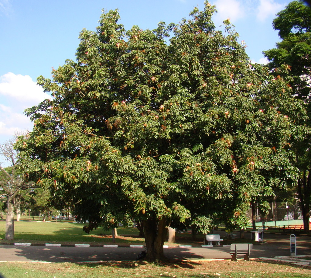 Unlike close relatives the Tropical Chestnut has flowers and leaves at the same time and not green striations on the trunk
