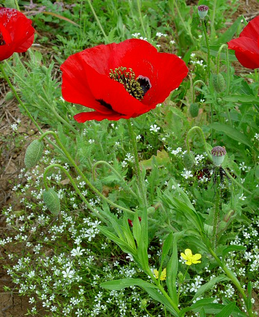 Corn poppy eat the weeds and other things too corn poppy mightylinksfo