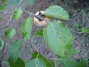 Persimmons get smutty but the black smut does not bother it nor us.